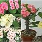 Euphorbia milii Thai Hybriden unserer Wahl