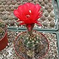 Echinopsis crassicaulis