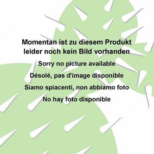 Echinopsis-Hybr. `Noris 3`