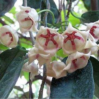 Hoya archboldiana cv big white flower uhlig kakteen more than big white flower mightylinksfo