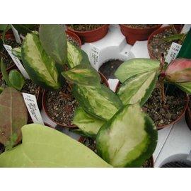 Hoya australis  ´Lisa´