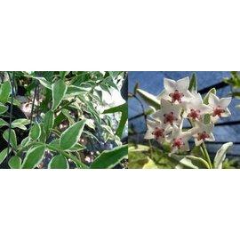 Hoya bella  cv. Margin Variegata
