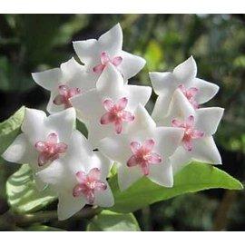 Hoya bella  cv. Variegata
