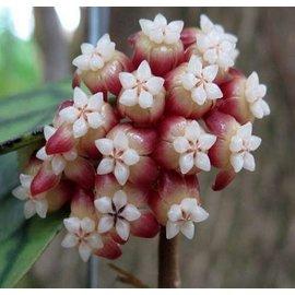 Hoya callistophylla  short leaf