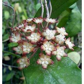 Hoya finlaysonii  cv. Trang