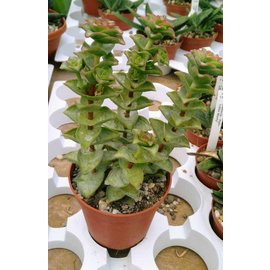 Crassula perforata  ´Giant Form´