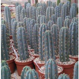 Trichocereus peruvianus  `azureus`