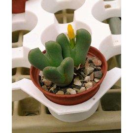 Conophytum bilobum  v. N