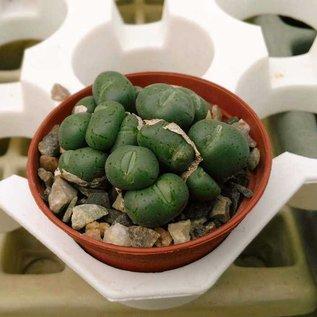 Conophytum uvaeforme  Mix v. B