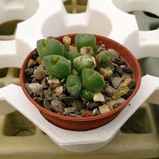 Conophytum saxetanum  v. B