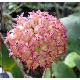 Hoya mindorensis  cv. Red Star