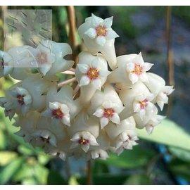 Hoya verticillata  cv. Variegata