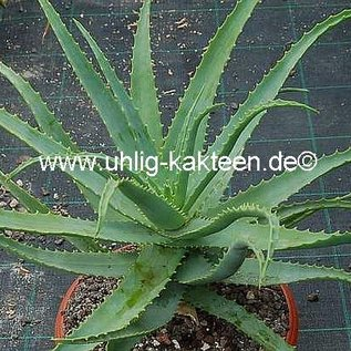 Aloe arborescens XL