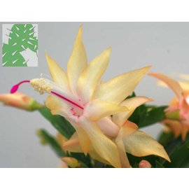 Schlumbergera-Hybr. `Cambridge`