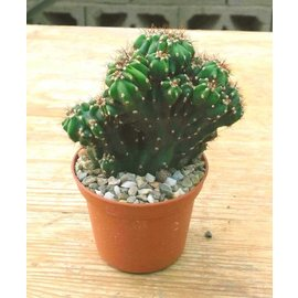 Cereus peruvianus  monstruosus `Schwarzer Felsenkaktus`