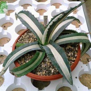 Agave americana  cv. Mediopicta-Alba