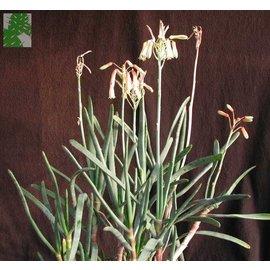 Aloe parallelifolia    (CITES)
