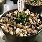 Ariocarpus bravoanus  ssp. hintonii    CITES