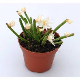 Rhipsalis floccosa ssp. tucumanensis