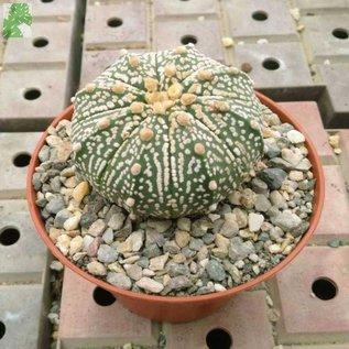 Astrophytum asterias  cv. `Super Kabuto`