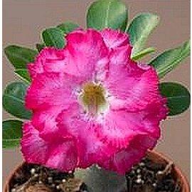Adenium obesum  Double Pink Rokoko´  zur Zeit mit kulturbedingtem Rückschnitt /  currently with culture-related cut back gepfr.