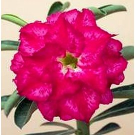 Adenium obesum  Double Pink Rose´  zur Zeit mit kulturbedingtem Rückschnitt /  currently with culture-related cut back gepfr.