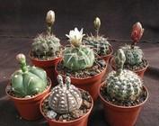 Starter packs cacti