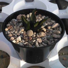 Ariocarpus scaphirostris  glatte Form    CITES