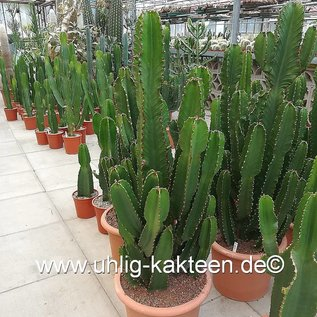Euphorbia ingens  XL