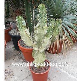 Euphorbia ingens marmorata verzweigt