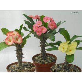 Assortment Euphorbia milii Grandiflora Thai hybrids