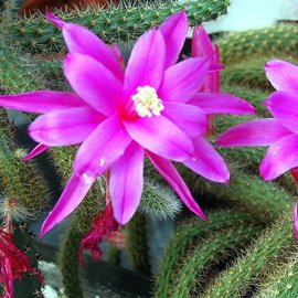 Aporocactus flagelliformis-Hybr. `Rolfs Schöne`