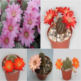 Assortment Rebutia