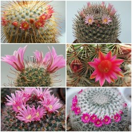 Assortment Mammillaria