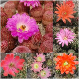 Assortment Echinocereus