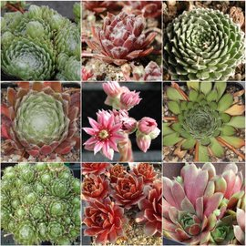 Sortiment Sempervivum