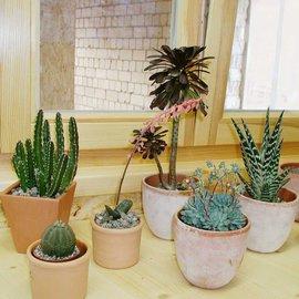 Succulents rango para el alféizar de la ventana