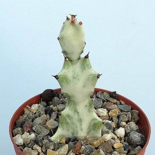 Euphorbia lactea  Grey Ghost´