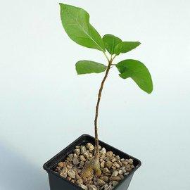 Ficus burkei   Namibia