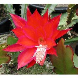 Aporophyllum-Hybr. Angela Paetz  (unbek. Aporocactus-Hybr. x Judith Paetz)