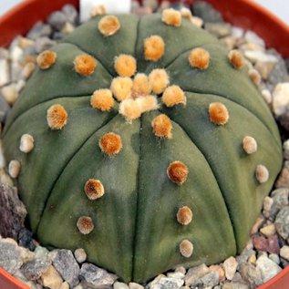 Astrophytum asterias  f. nudum    CITES