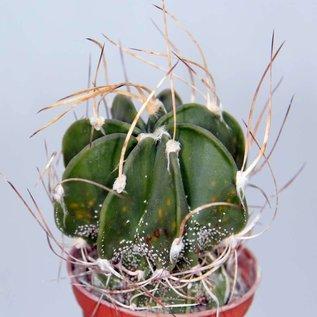 Astrophytum capricorne  v. crassispinum