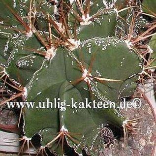 Astrophytum ornatum  v. glabrescens