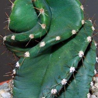 Cereus forbesii  spiralis Maxi