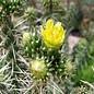 Cylindropuntia whipplei   Archuleata Co., CO, 1951 m`     (dw)