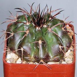 Discocactus chrystallophorus HU 582 Form Minas Gerais, Brasilien   CITES