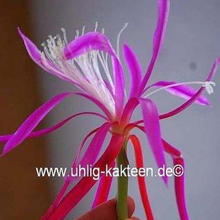 Disophyllum-Hybr. `Frühlingspracht`