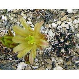 Echinocereus viridiflorus  ssp. davisii Mexiko - nördlich von Mexiko City bis nach USA - Kalifornien, Utha, Wyoming und Southdakota sehr warme Steppen