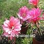 Echinopsis calorubra