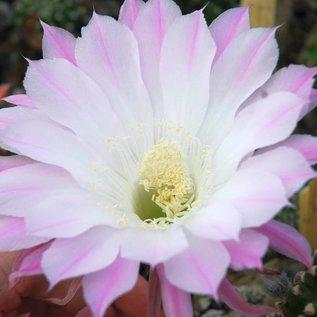 Echinopsis-Hybr. `Anastasia`  Schick Hybride Blüte weiß-flieder-rosa, rosa Mittelstreif